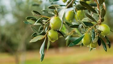 Fases de la Elaboración del aceite de oliva (Fase II)