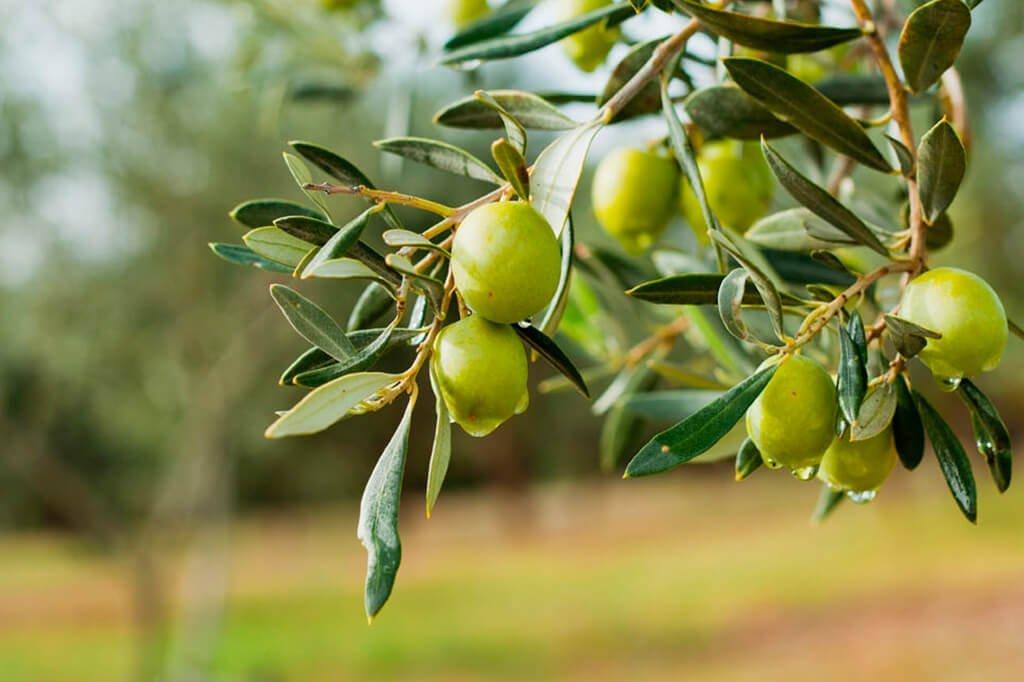 conoce esencia de olivar
